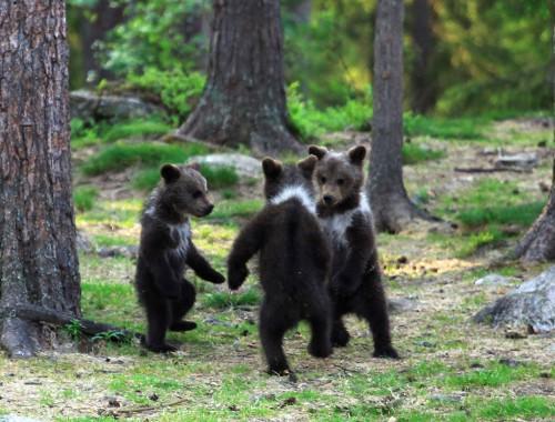 ronde bébés ours gros plan